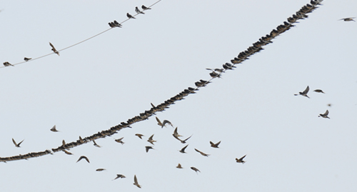 Birds on wires: why favor the lower?