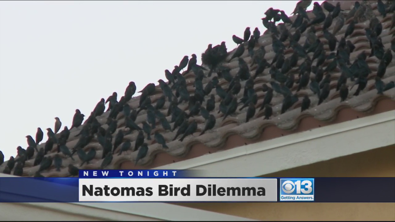 Birds Flock To Natomas Parking Lot To The Dismay Of Shoppers