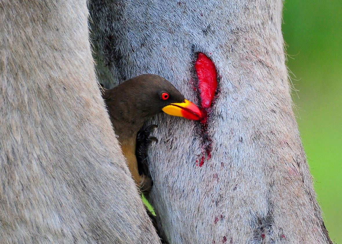These Adorable Little Birds Will Drink Your Blood