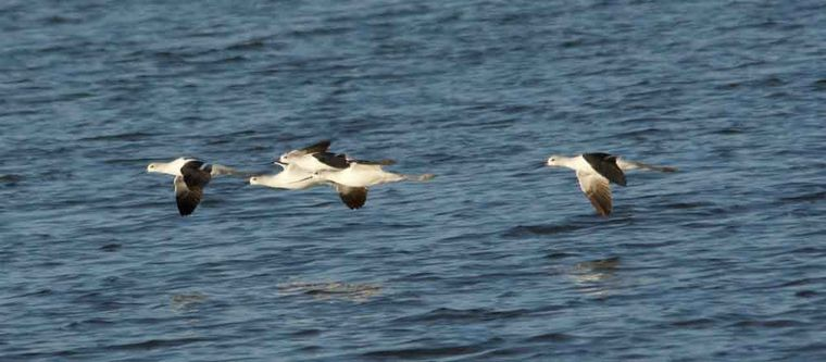 LIFE AT BOOMER LAKE: Some water birds move in while others move on