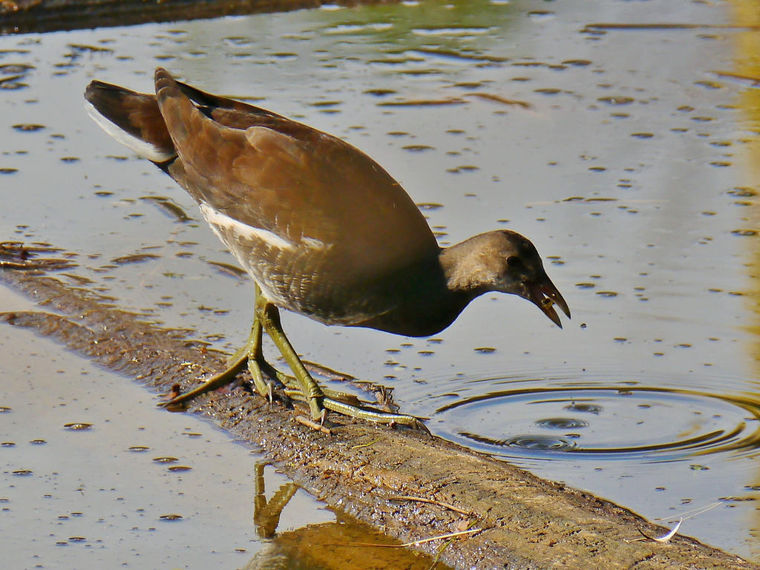 For the Birds: Gallinule unexpected sighting at Bristol birding hot spot