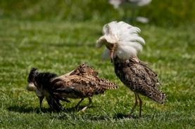 """""""Supergene"""" Determines Wading Birds' Sex Strategy"""