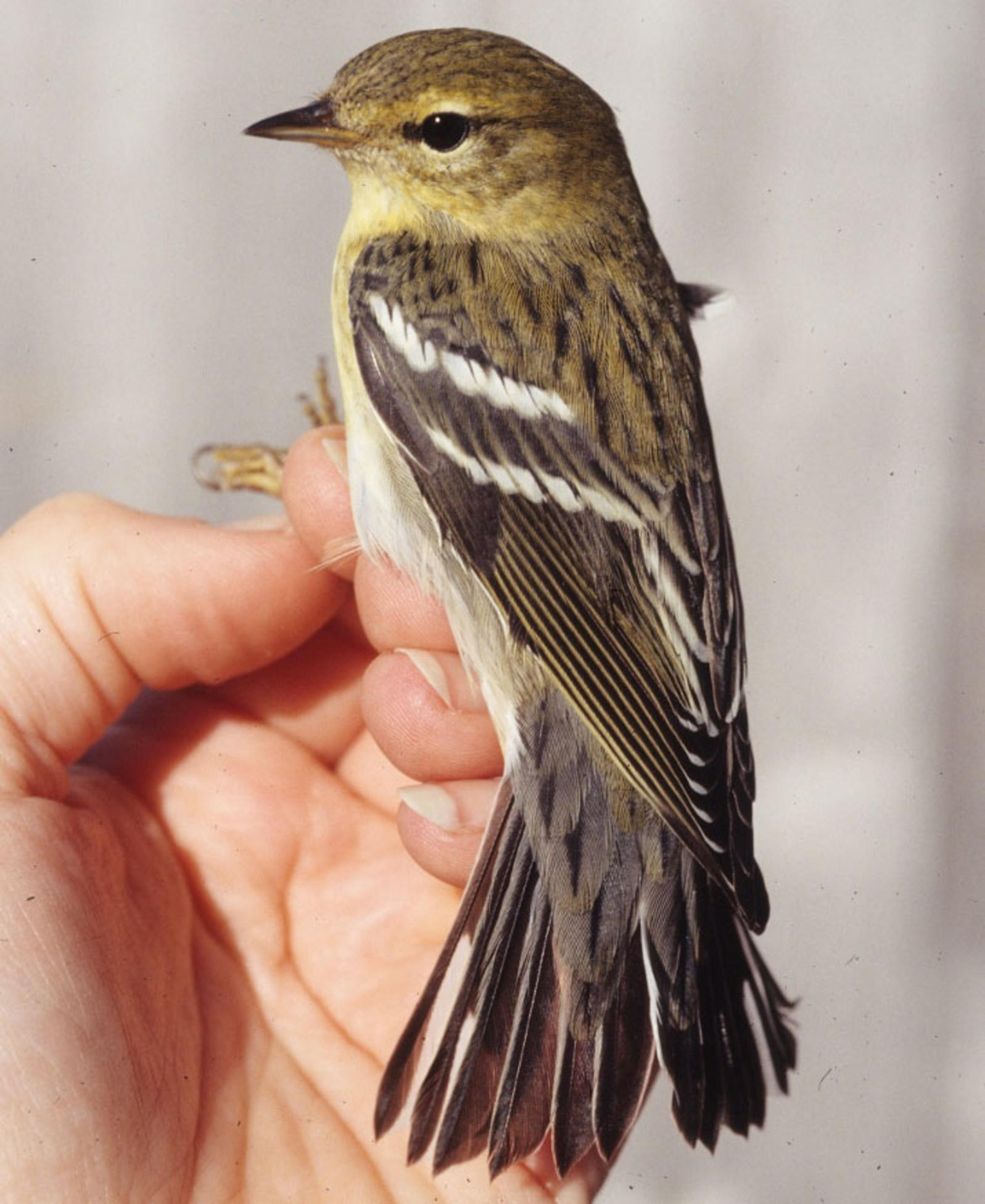 The Blackpoll Warbler: Basic Bird, Amazing Migrator