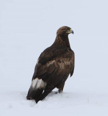 Local Bird Profiles: The Grand Golden Eagle