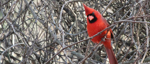 Cardinals at your bird feeders could reduce visits by other birds: Outdoor Insider