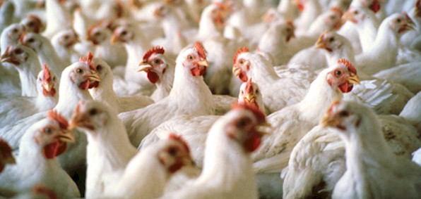 Why half a million poultry birds were suffocated