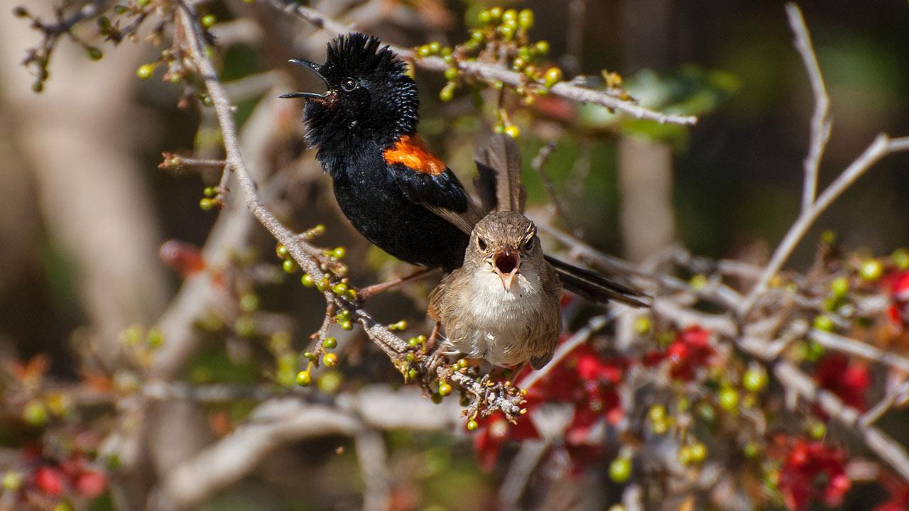 These birds use song to keep their mates from straying