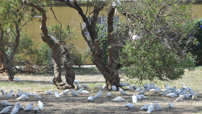 The birds that are plaguing Aldinga