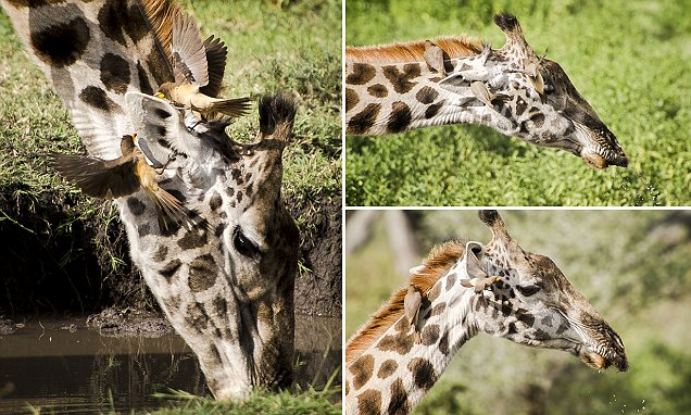 Julia Sundkova photographs 2 birds fighting each other over a giraffe's ear
