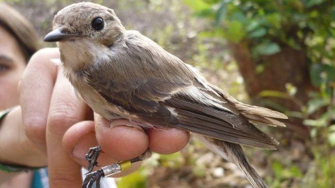 birds tracked on mammoth Sahara flight