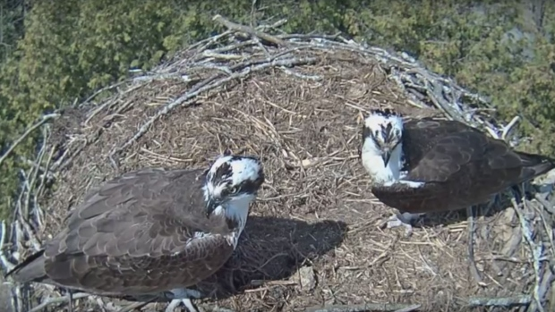 Osprey nest cam offers viewers an unfiltered look at birds at Belwood Lake …