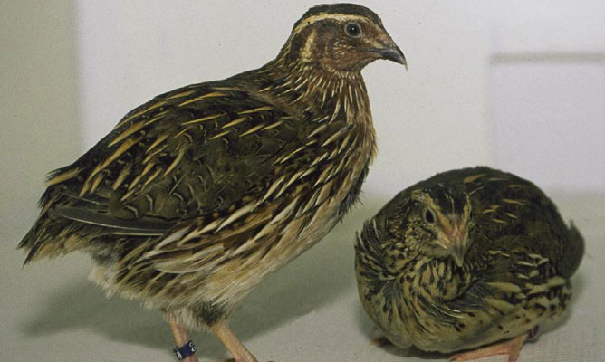 Govt bans trade in quail birds