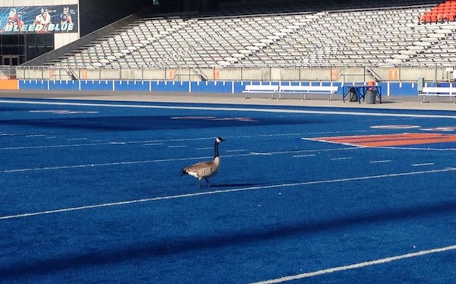 Plight of the geese: Birds mistake Boise State's blue turf for a lake