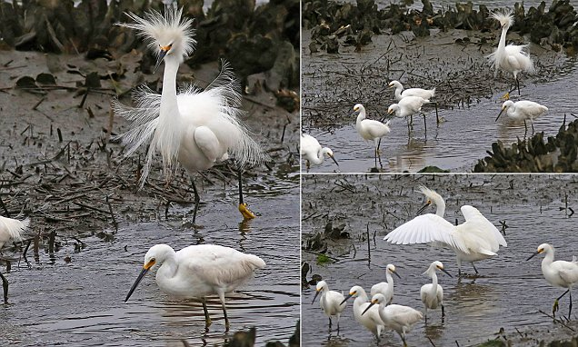 Scared birds run away from snowy egret after seeing his crazy fluffed up feathers