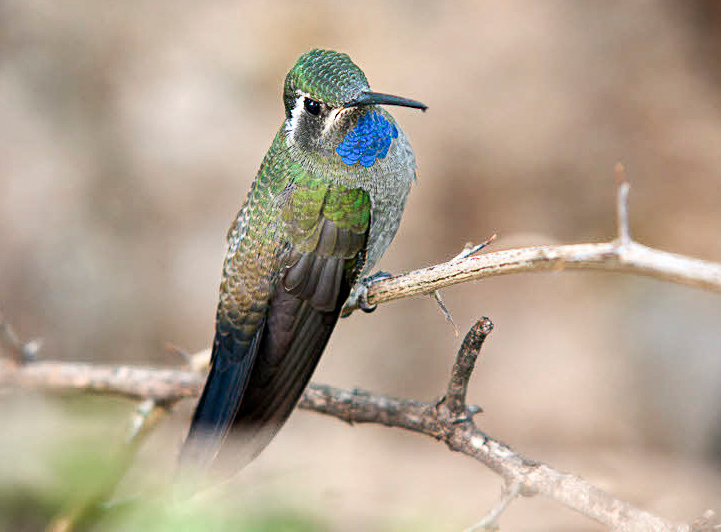 Blue Throated Hummingbird