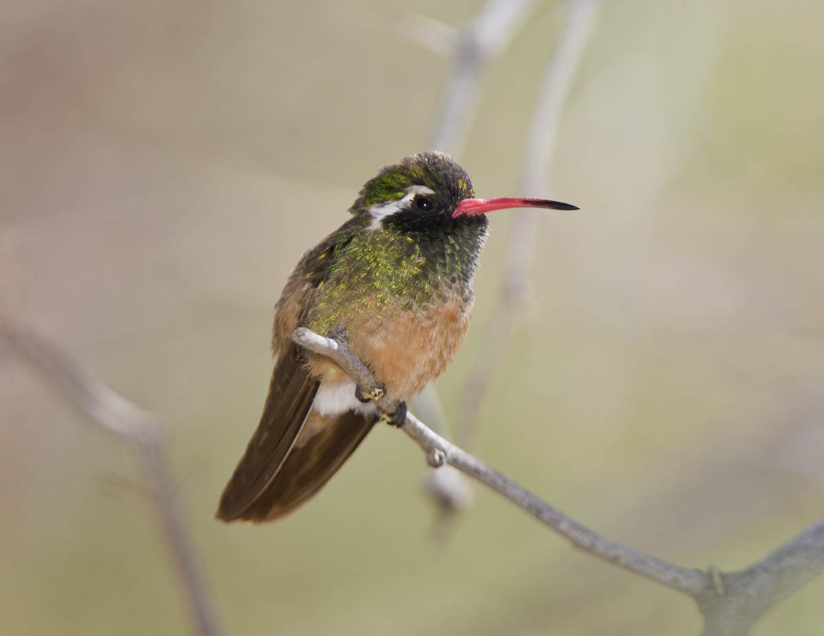 Xantus Hummingbird