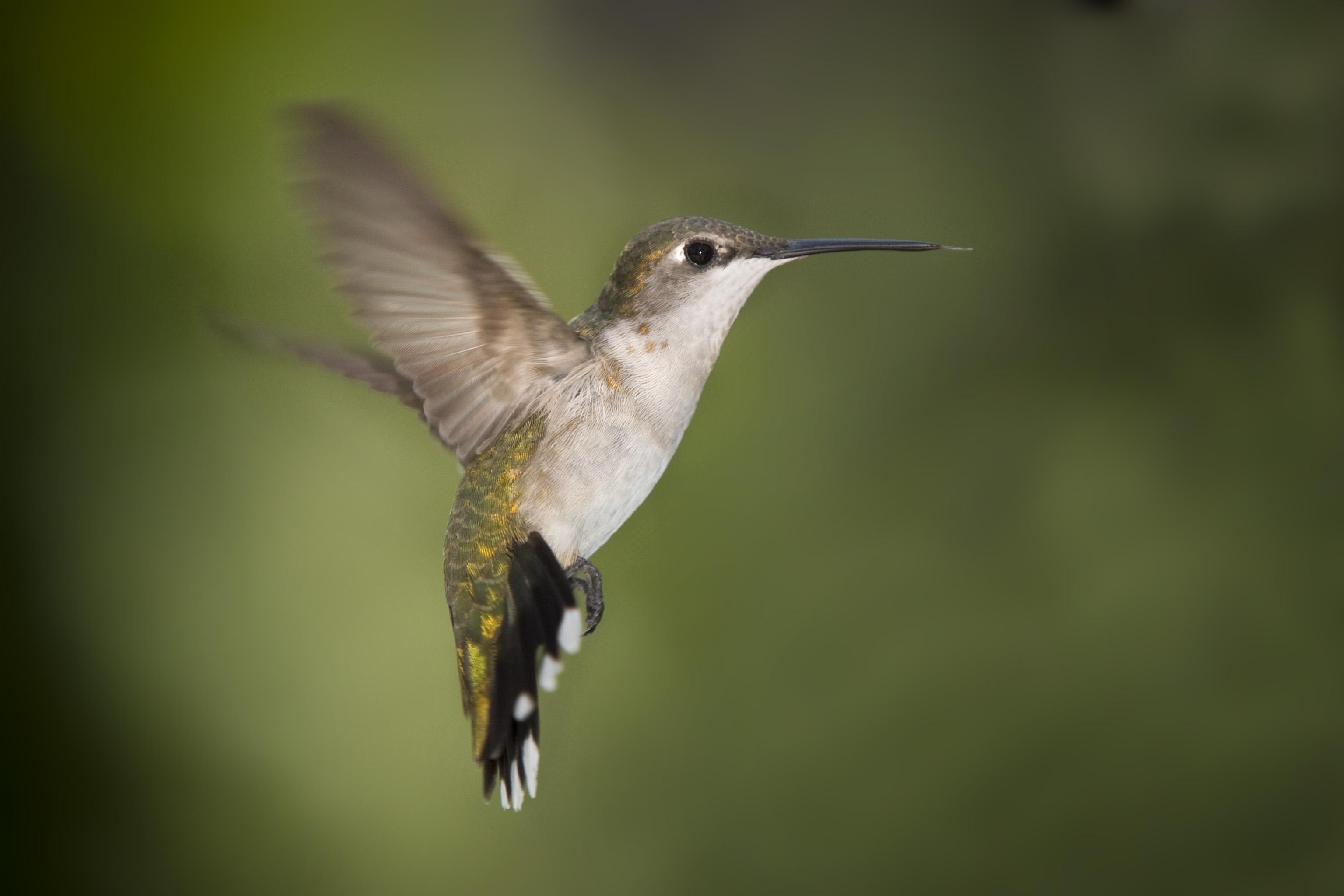 Hummingbird History