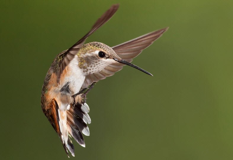 Hummingbird Behaviors
