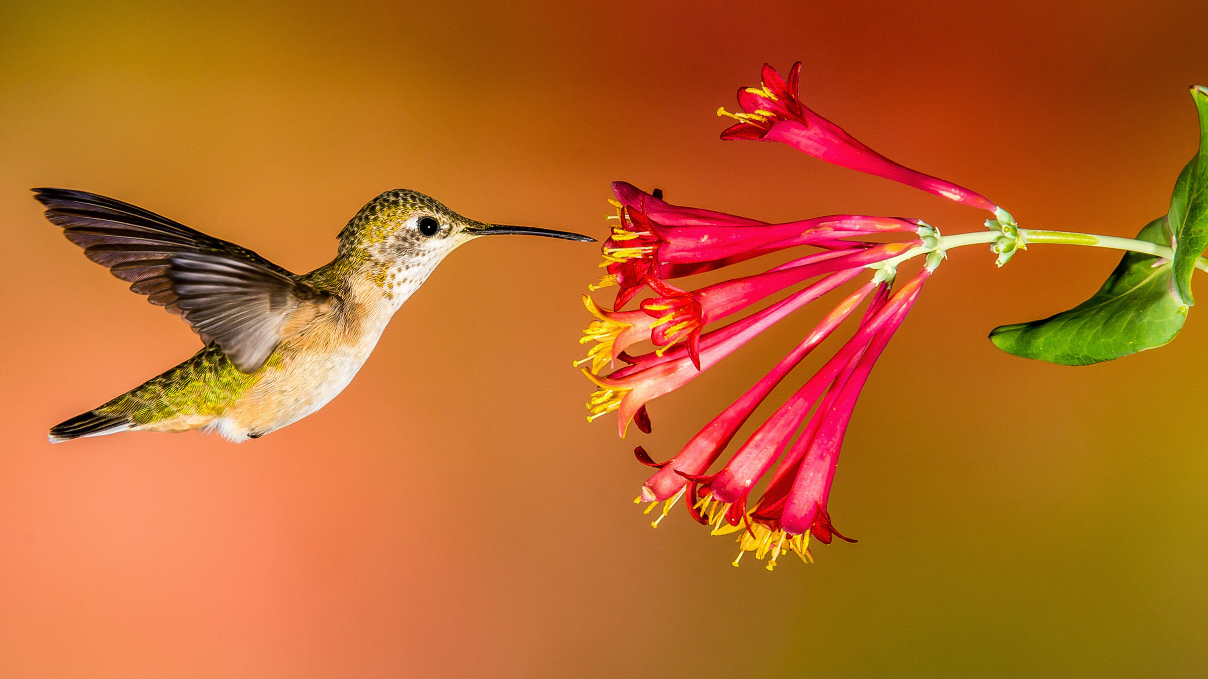 pollinators, hummingbird, flower, plants, flowers