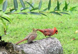 For the birds: bald cardinals are a temporary summer phenomenon