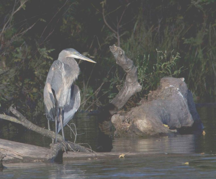 LIFE AT BOOMER LAKE: Great Blue Heron holds fast among newcomer birds