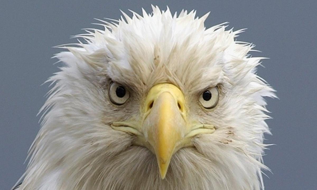 Eagles Vs Drones: Dutch Police Eye Birds to Prey on Drones