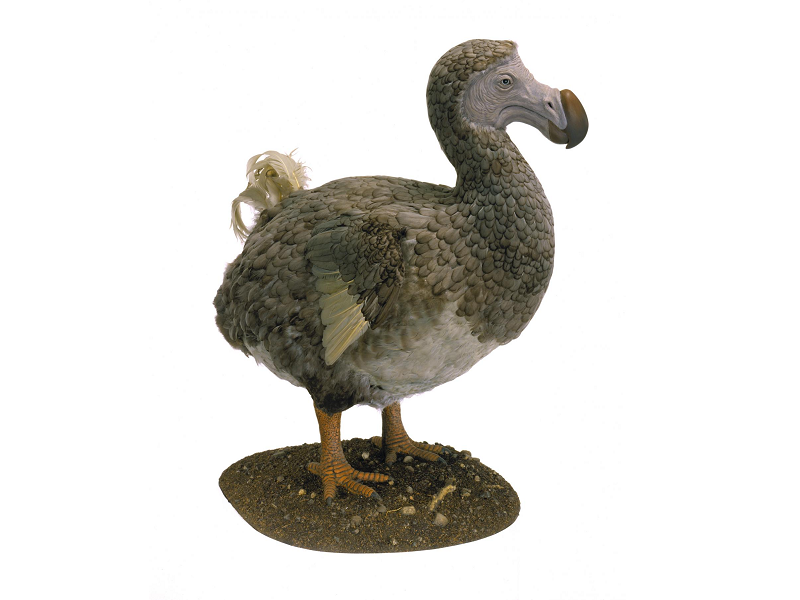 Dodo Birds Weren't 'Dodos' After All