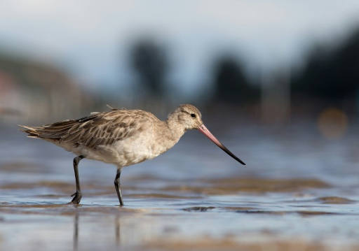 Australia plan to protect 'long-haul' birds