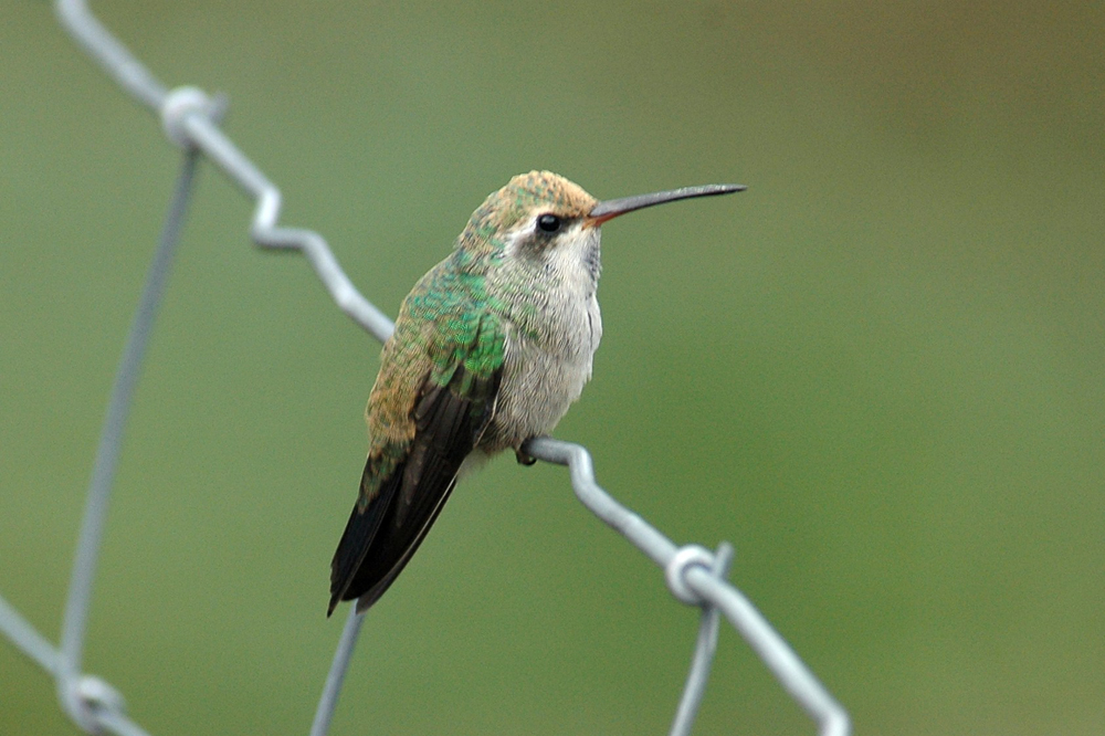 Broad Billed Hummingbi...