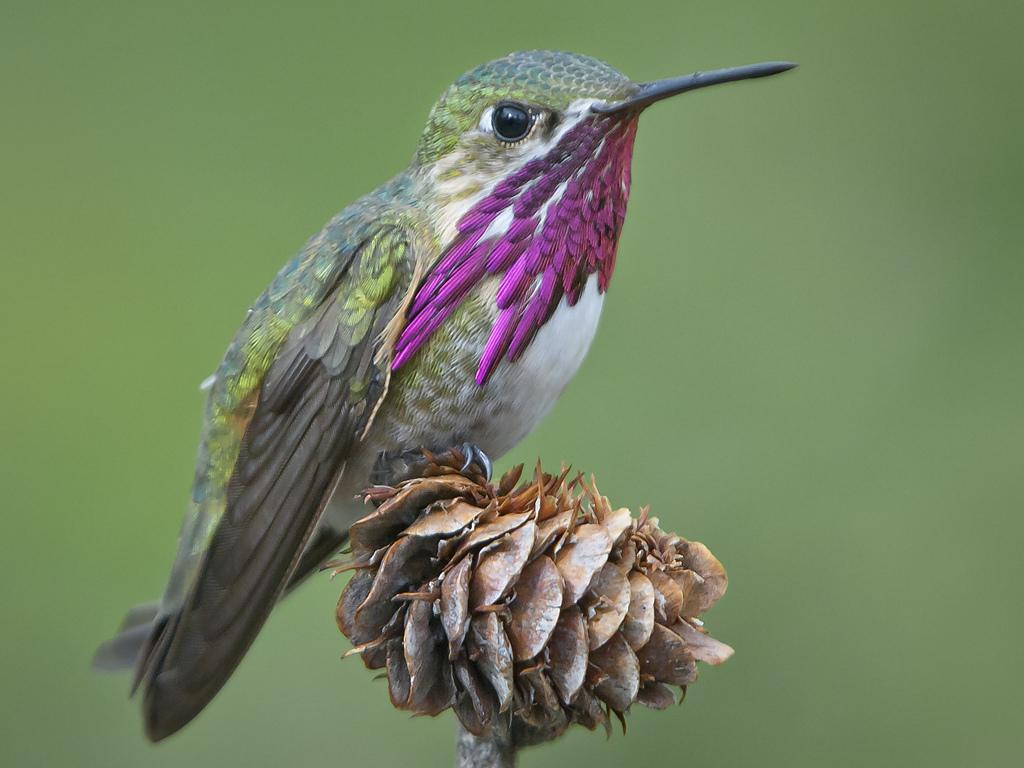 Calliope Hummingbird Species - Hummingbirds Plus