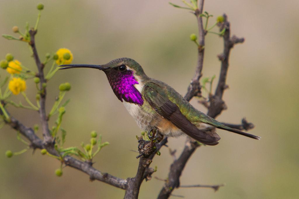 Lucifer Hummingbird Species Hummingbirds Plus