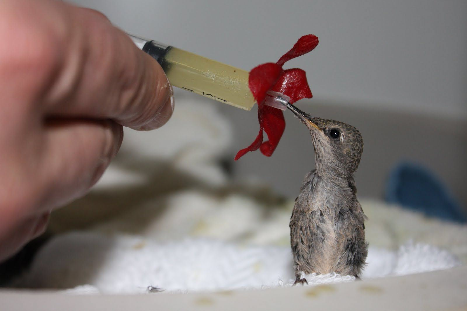 Baby Hummingbird Feeding