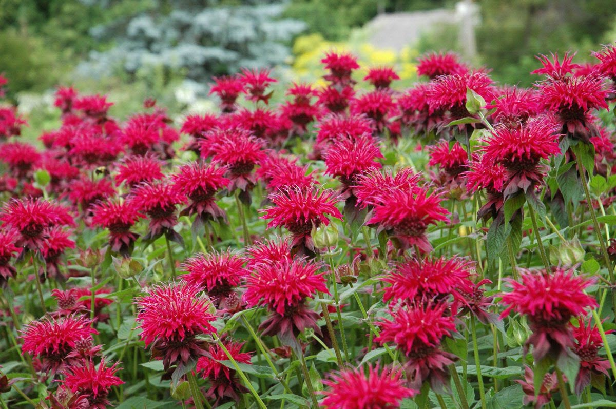 Bee Balm Flower