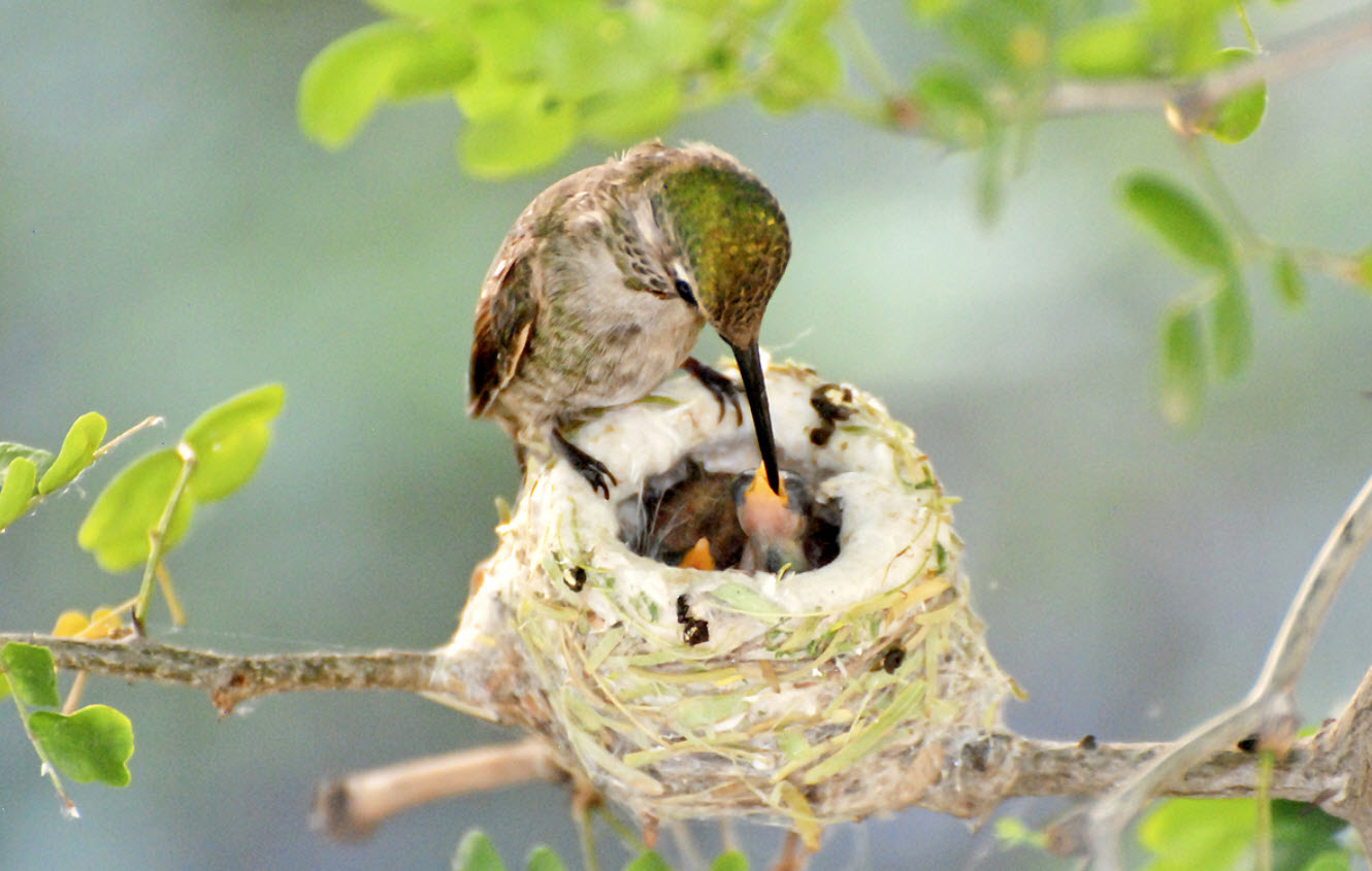 Hummingbird Nest Facts Hummingbirds Plus