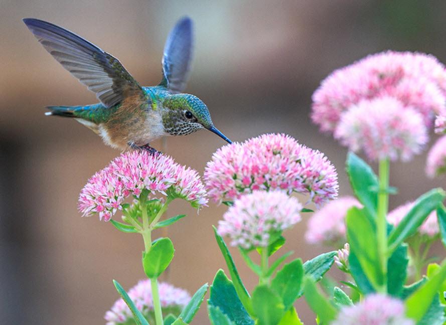 Hummingbird Behavior