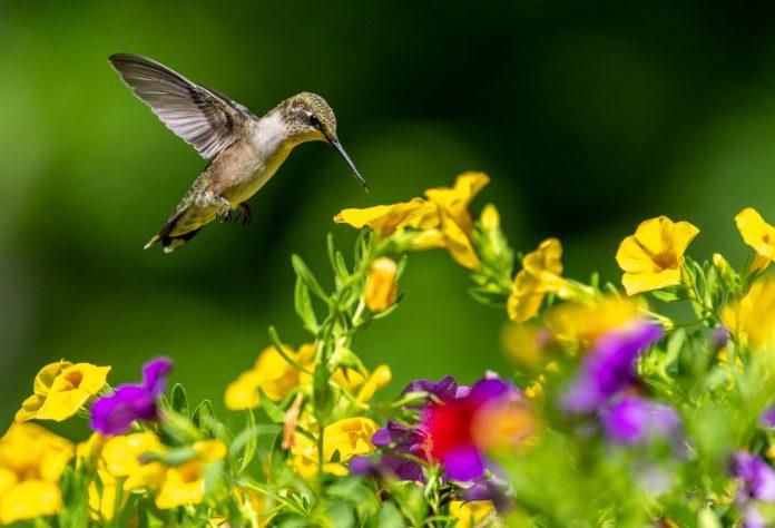 Where do hummingbirds live in the World? (Habitats in ...