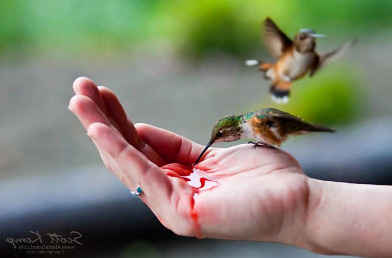 Human Hand Feeding Hummingbird