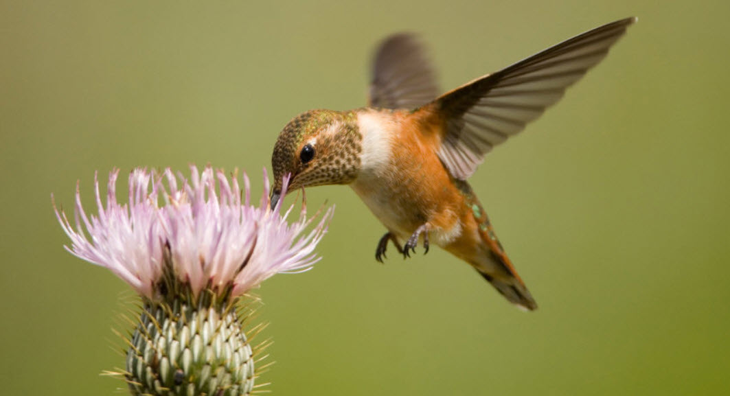 How Long Do Hummingbirds Live? (A look at their Lifespan ...