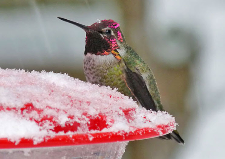 Hummingbird in the Winter