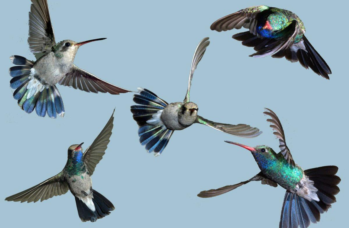 Can Hummingbirds Fly Backwards? (How do they do it ...